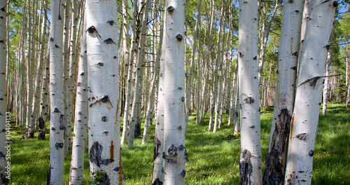 Canvas Prints Birch Grove Birkenwaldpanorama
