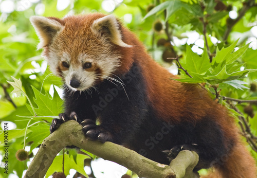 Photo  Red Pandas live in the Himalayas and southwest of China
