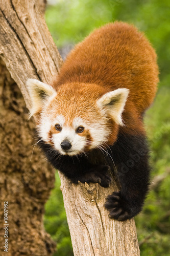 Red Pandas live in the Himalayas and southwest of China Canvas Print