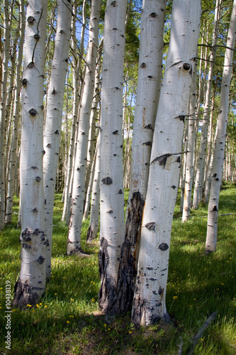 Photo Stands Birch Grove Birkenwaldpanorama
