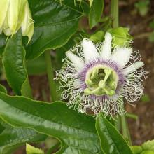 Fleur De Passiflore Ou Fruit De La Passion