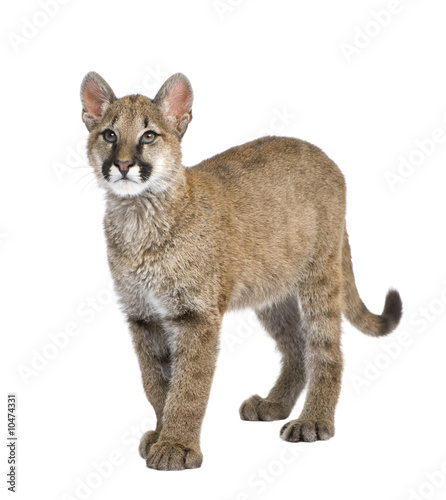 Staande foto Puma Puma cub in front of a white background