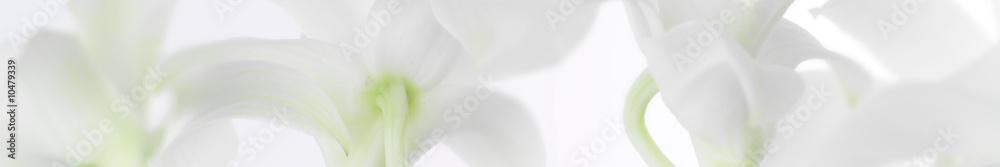 Fototapety, obrazy: panorama aus weissen orchideen