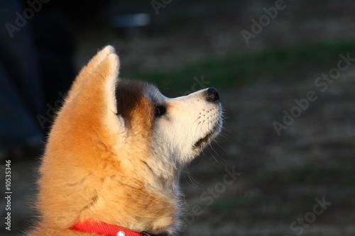 Valokuvatapetti Akita #1