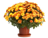 A pot of orange chrysanthemums isolated on white background