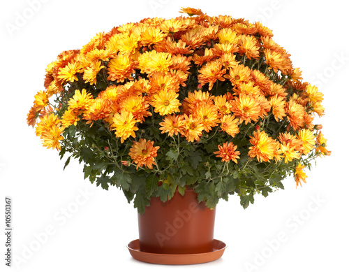 Fotografía A pot of orange chrysanthemums isolated on white background