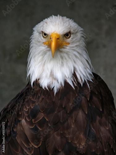 Foto-Schiebevorhang (ohne Schiene) - Weißkopfseeadler (Haliaeetus leucocephalus) (von janbugno)