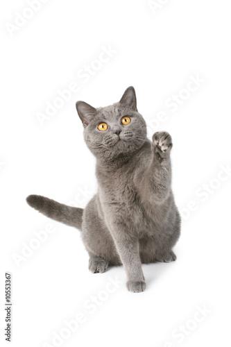 Vászonkép Playfull british cat