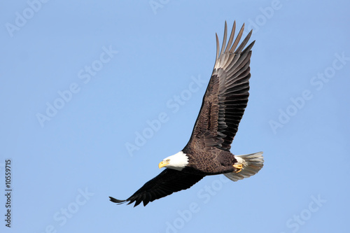 Fotobehang Eagle Adult Bald Eagle (haliaeetus leucocephalus) in flight against