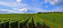 Paysage De Vignes.