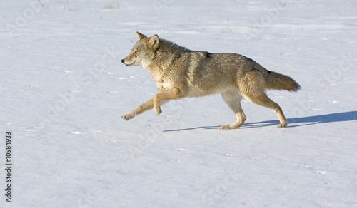 Foto op Aluminium Wolf Coyote