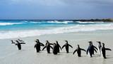 Fototapeta Zwierzęta - King Penguins