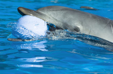 Dolphin Playing With Ball