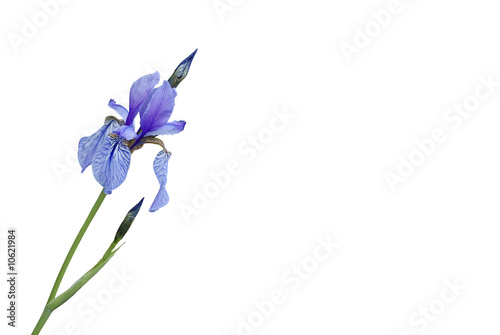 Poster Iris Sibirische Schwertlilie