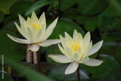 Canvas Prints Water lilies Gelbe Seerose