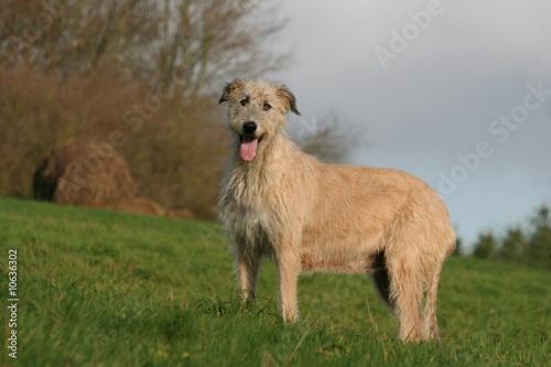 Fotografie, Obraz  Grand chien gentil à la campagne