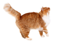 Red Cat Walking Isolated Over White Background