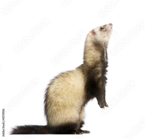 Fotografie, Tablou  ferret - Mustela putorius furo