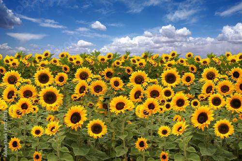 In de dag Zonnebloem Sunflower Farmland With Blue Cloudy Sky