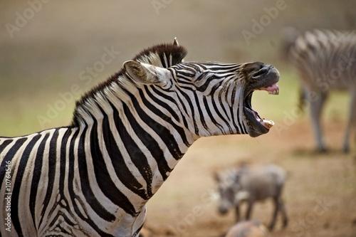 Fototapety, obrazy: A Zebra Stallion shows his teeth