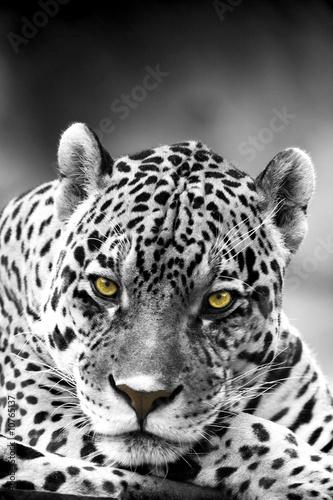 Poster Leopard Close up Leopard Portrait