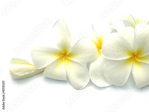 Fotografia, Obraz fleurs blanches de frangipanier
