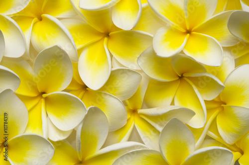 Foto op Canvas Frangipani Plumeria backgound