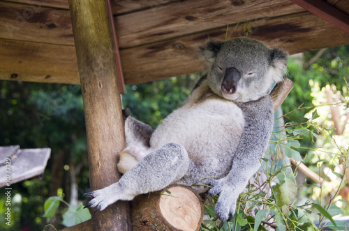 Foto op Canvas Koala Relaxing koala