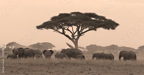 Elephant herd under acacia