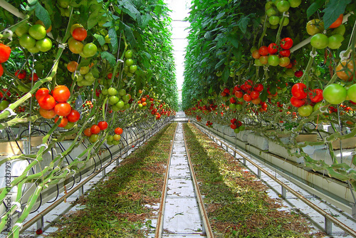 Fotomural serre de tomates