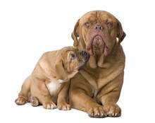 Mother Dogue De Bordeaux And H...
