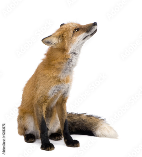 Red fox (4 years)- Vulpes vulpes Canvas Print