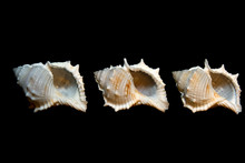 Group Of Isolated Conch Seashe...