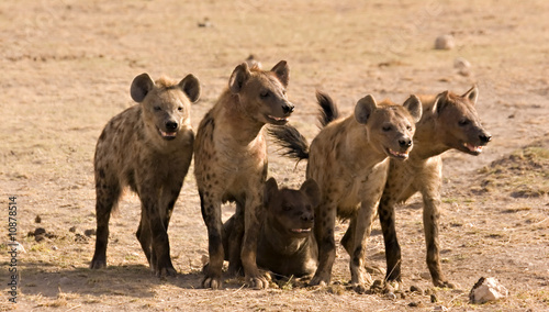 Spoed Foto op Canvas Hyena Pack of hyenas