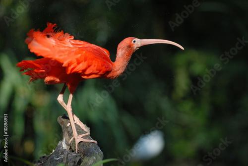scharlachsichler, sichler, ibis, vogel - buy this stock photo and