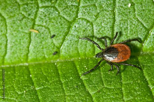 Photo Tick on leaf. Ixodes ricinus.