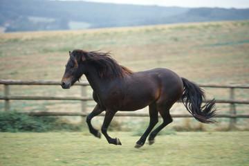 poney de race dartmoor au galop
