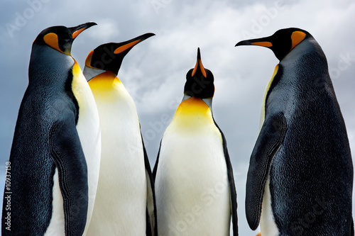 Foto op Canvas Pinguin 4 King Penguins
