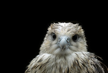 Wet Nestling Eagle