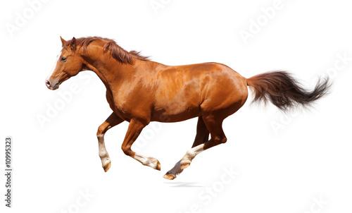 Foto op Canvas Paarden Sorrel trakehner stallion