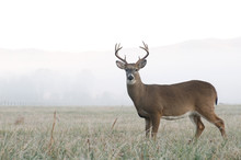 Whitetail Deer Buck In An Open...