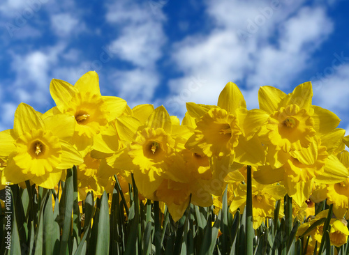 Poster Narcis Daffodil Sky