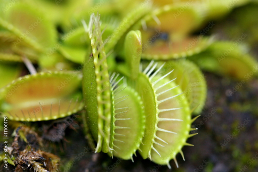 Fototapeta plante carnivore