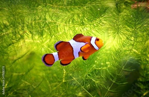 Fotografie, Obraz  foolfish