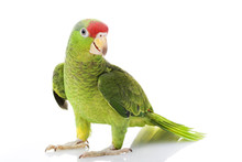 Mexican Red-headed Amazon Parrot