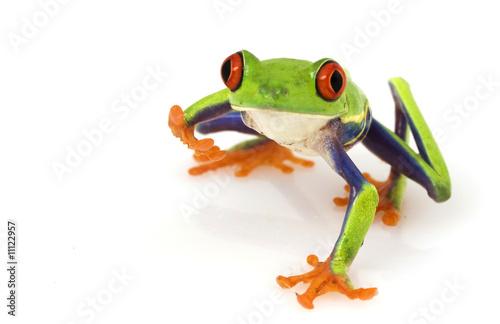 Foto op Aluminium Kikker Red-eyed Tree Frog (Agalychnis callidryas)