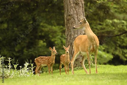 Poster Deer Doe with Twins