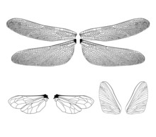 Wings Of Insects