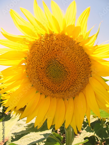 Printed kitchen splashbacks Sunflower sunflower