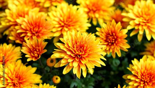 Fotografía Chrysanthemum